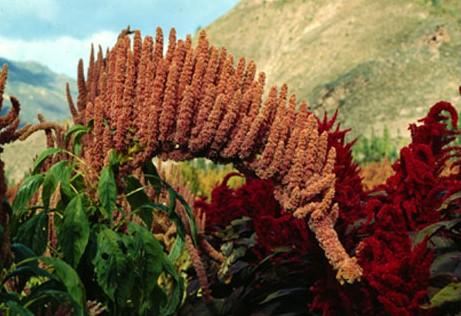 quinoa-9.jpg