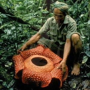 rafflesia_inhands.jpg