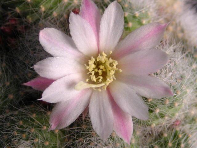 rebalbifloraflor1.JPG
