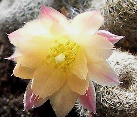 rebutiaheliosaalbiflora1.jpg