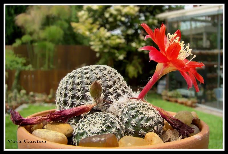 Rebutiaheliosaexvarcondorensis.jpg