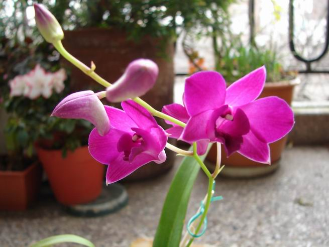Resize of Dendrobium phalaenopsis 4.JPG
