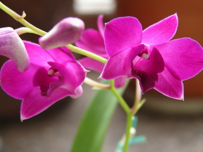 Resize of Dendrobium phalaenopsis 7.JPG