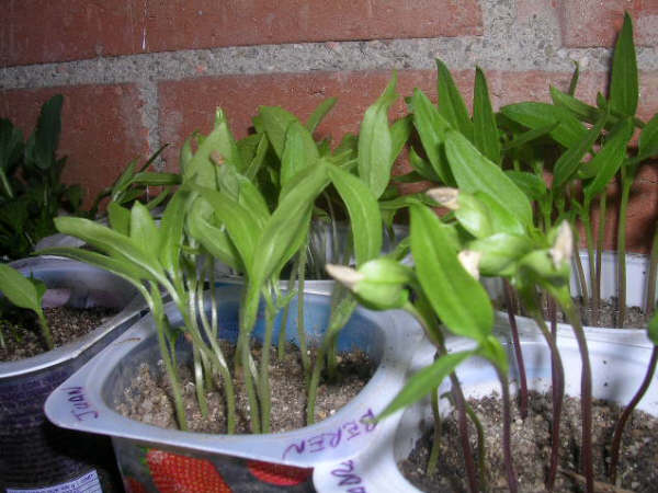 Semillero de pimientos paso a paso recopilaci n en posts for Plantar pimientos y tomates