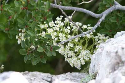 Rhamnus_pumillus_i_saxifraga_longifolia.jpg