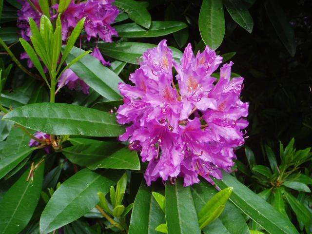 Rhododendron-by-eiffel-public-domain-20040617.jpg