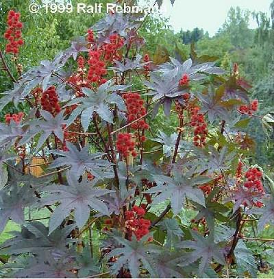 ricinus-communis02-400.jpg