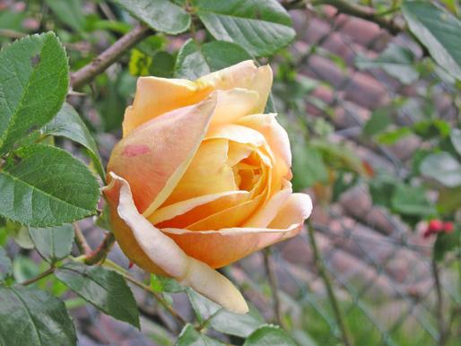Rosa%20Amarilla.jpg