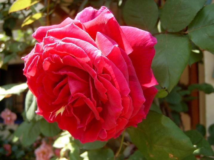 Rosa%20Duftzauber%28kORDES%29.jpg