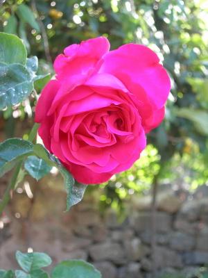rosa-gr-fucsia-muyok.JPG