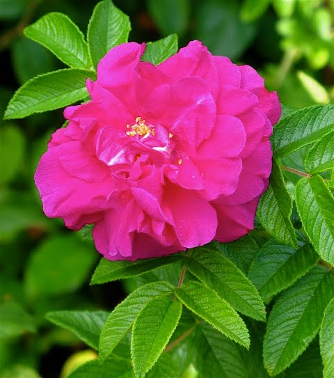 Rosa+rugosa+%27Hansa%27+0810.JPG