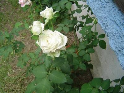 rosa_blanca_1.JPG