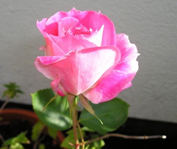 Rosa_rosa_20_de_mayo_640x480_.JPG