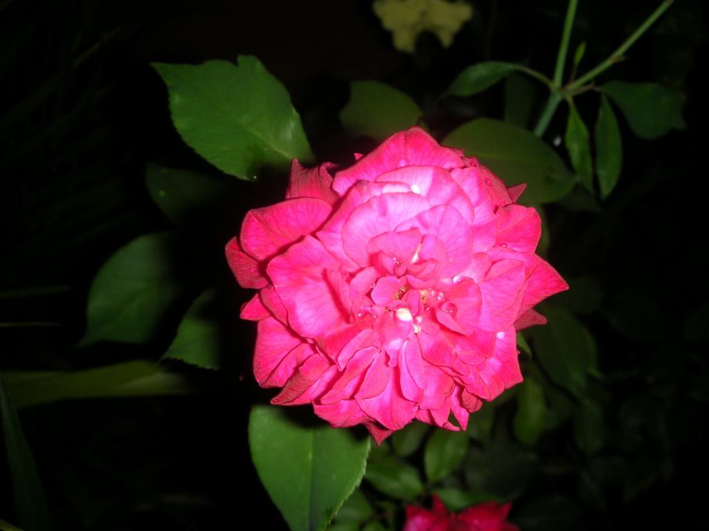 Rosaafuerafrente.jpg