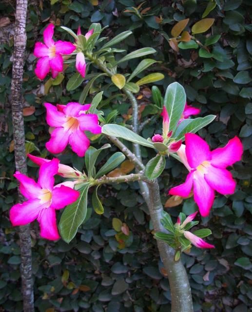 rosadeldesierto14.jpg
