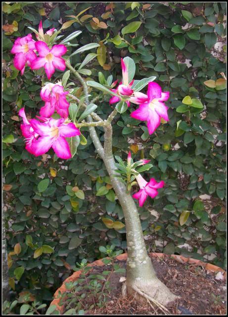 rosadeldesierto15.jpg