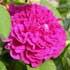 rosales-gallica.jpg