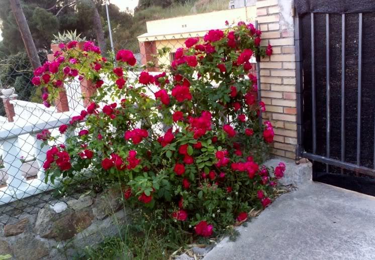 Rosaltrepador.jpg