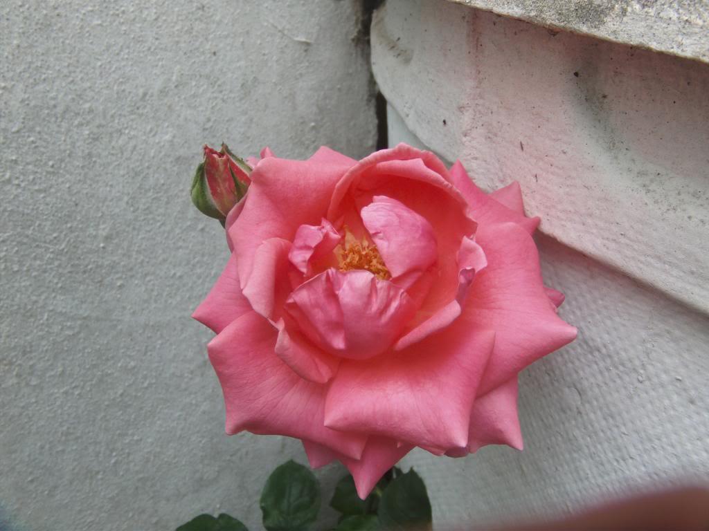 RosaReinaElizabeth3_zps996cbdbd.jpg
