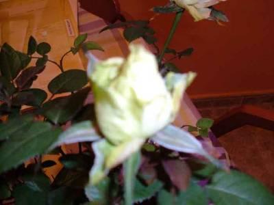rosaverde2.jpg