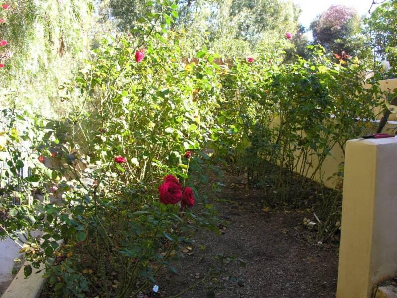 RosePruneBefore5360.jpg