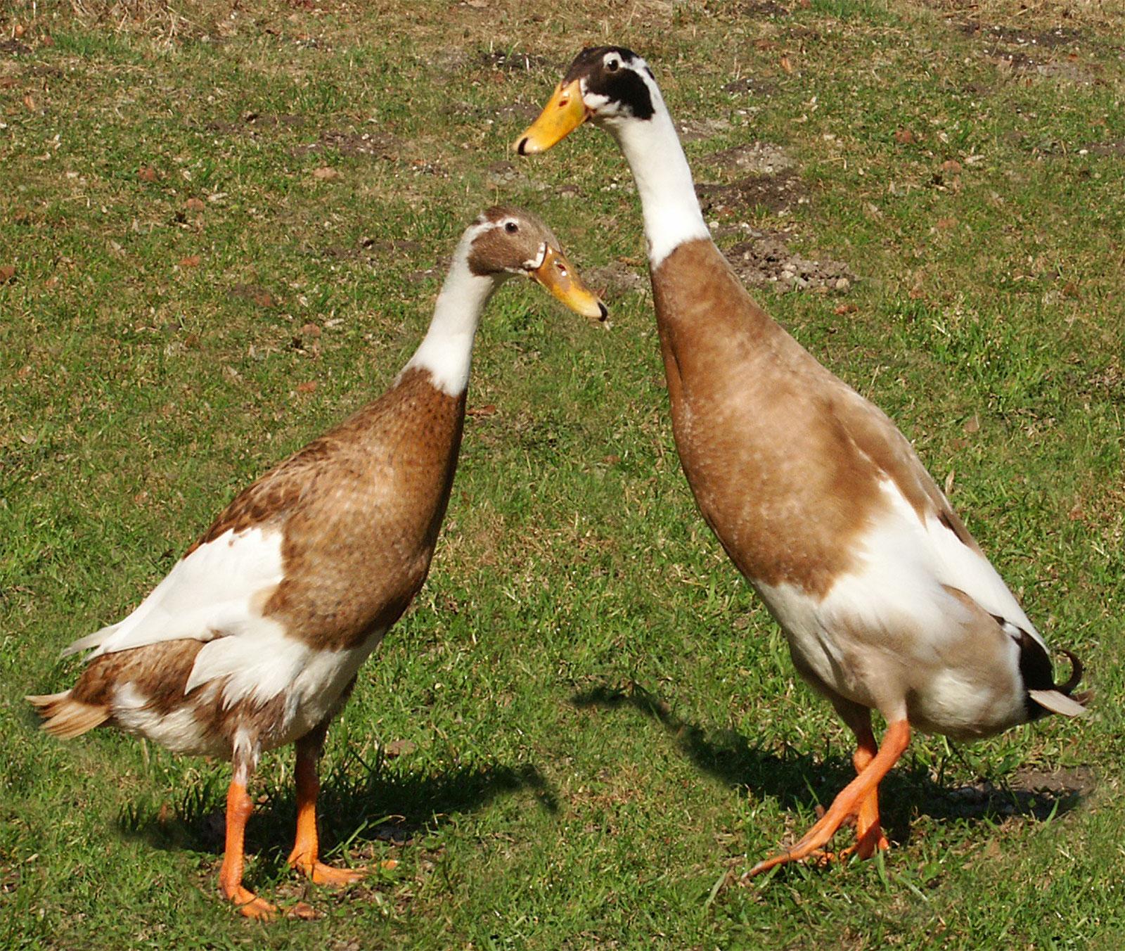Runner-ducks.jpg