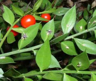 ruscus-aculeatus.jpg