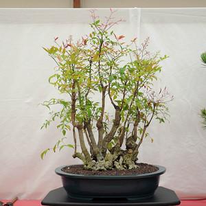 Sacramento-bonsai-club-64th-show-2-S.jpg