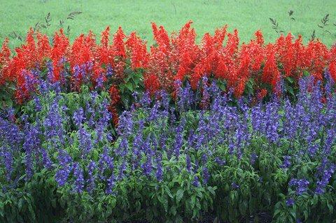 salvia-houseplant-by-kanonn-thumb-480x319-13115.jpg