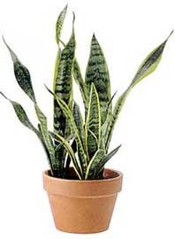 sansevieria-trifasciata.jpg
