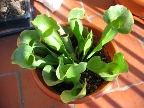 Sarracenia-purpurea.jpg