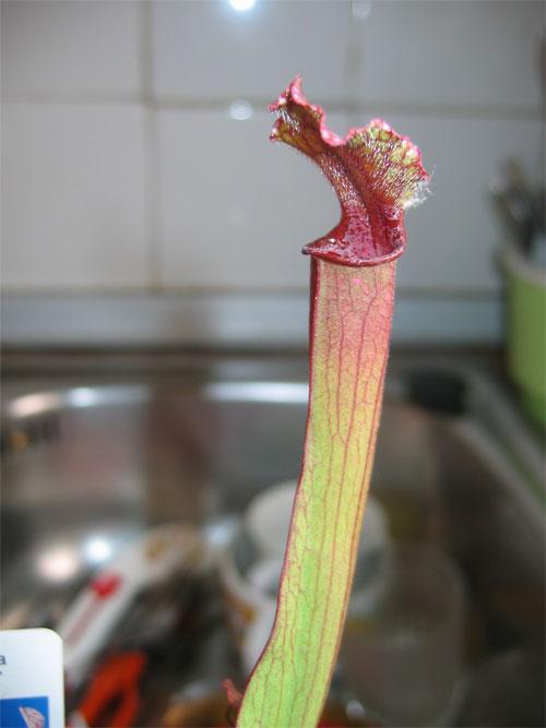 Sarracenia-stevensii-2.jpg