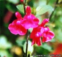 sauge_grahamii_fleur.jpg
