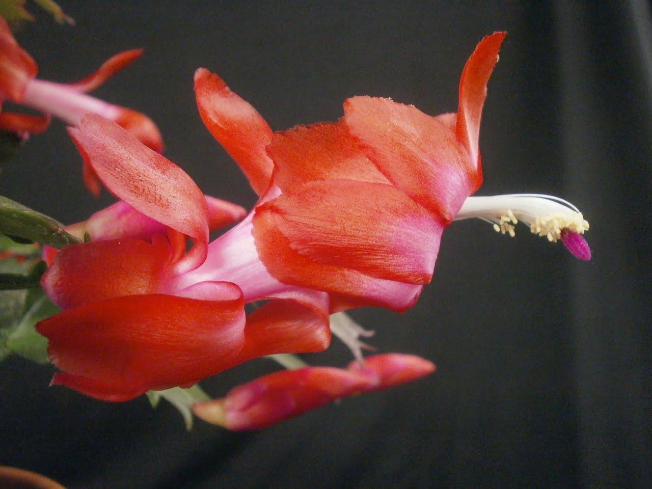 schlumbergera+caribbean+dancer+flower+c-u+(own).jpg