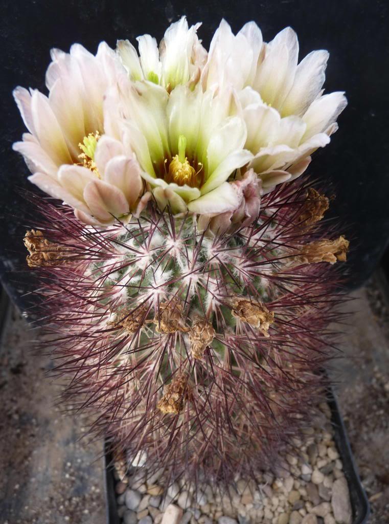 Sclerocactusjohnsoniilutescens03_zps59b4ee2f.jpg
