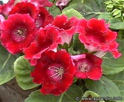 sinningia_speciosa_fleurs.jpg
