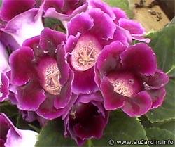 sinningia_speciosa_violet_fleurs.jpg
