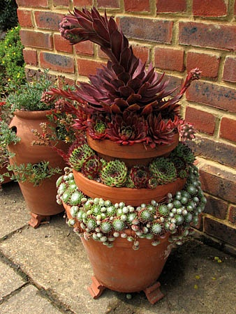 sizedSempervivum%20Othello%20%282%2918263.jpg