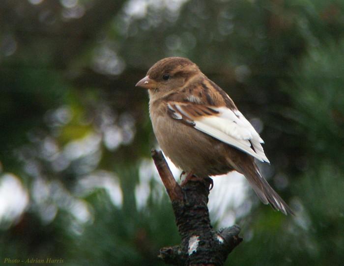 sparrow_whitewing038_vse.jpg
