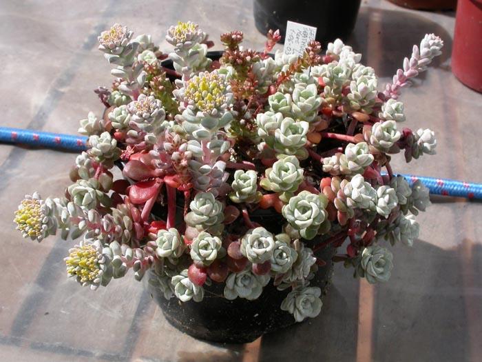 spathulifolium.jpg
