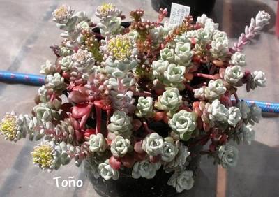 spathulifolium_to_o.jpg