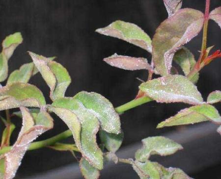 sphaerotheca-pannosa-ver-rosae-02.jpg