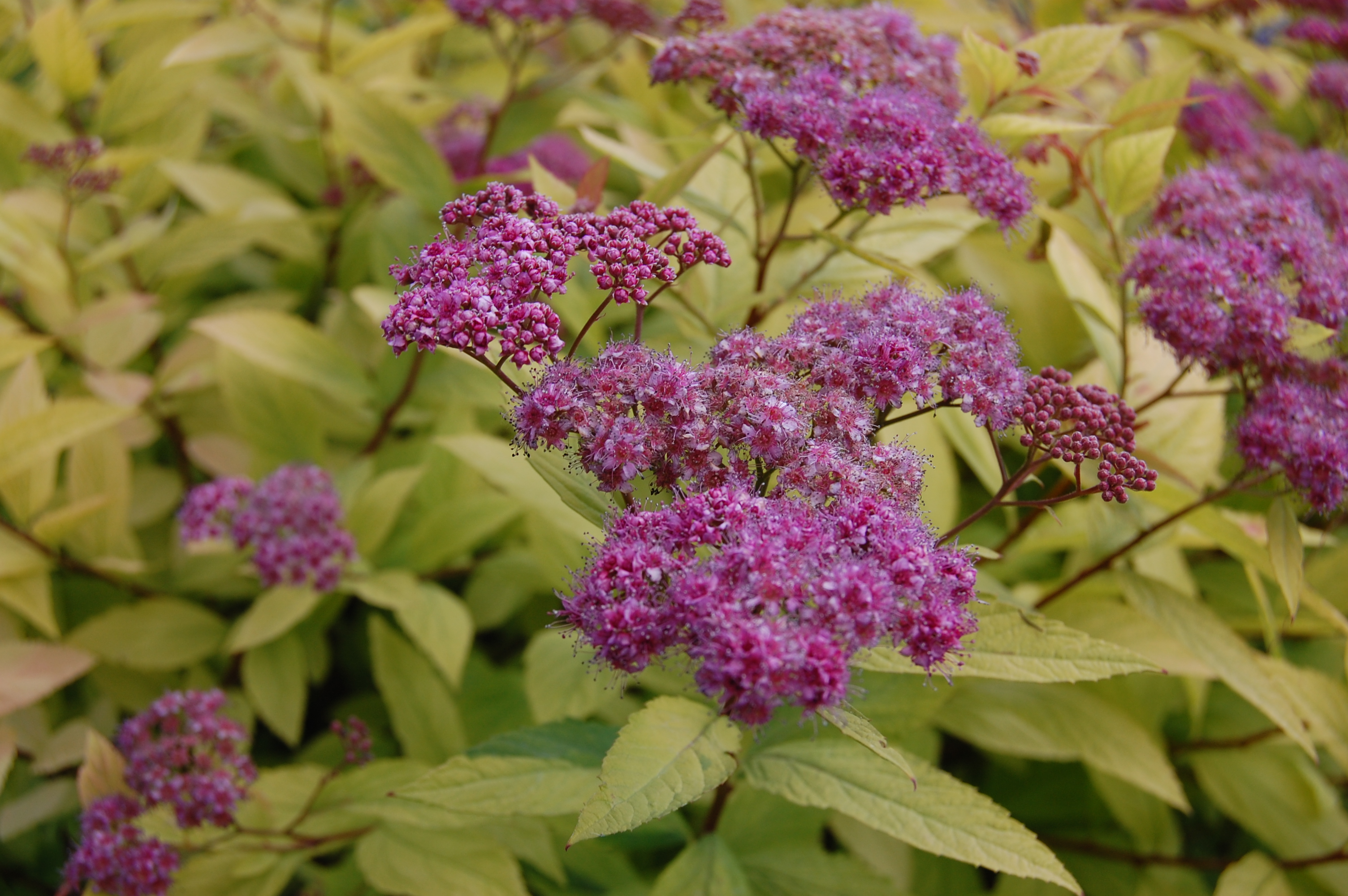spirea-goldflame-flower.jpg