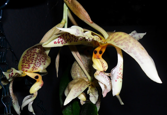 Stanhopea+oculata+night+28+March+2013+2.jpg