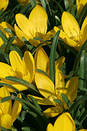 Sternbergia lutea.jpg