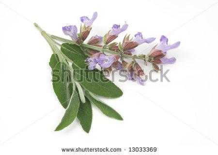 stock-photo-sage-plant-lat-salvia-officinalis-isolated-on-white-13033369.jpg