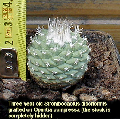 Strombocactus_disciformis_three_years_old.jpg