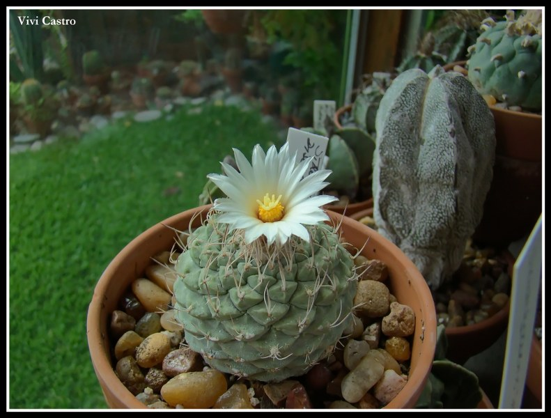Strombocactusdisciformis-1.jpg