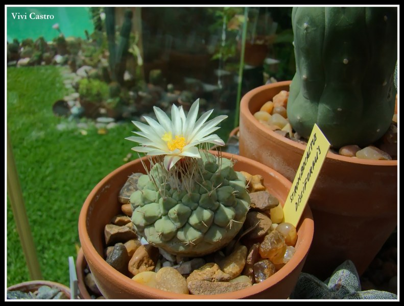 Strombocactusdisciformis3.jpg