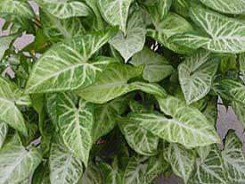 syngonium-podophyllum.jpg